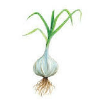12 vegetales que cultivar en diciembre ajos