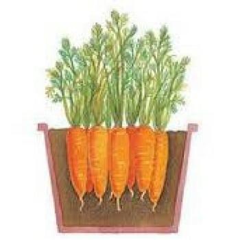 12 vegetales que cultivar en diciembre zanahorias