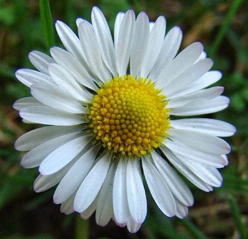 diccionario-jardineria-gardeneas-inflorescencia